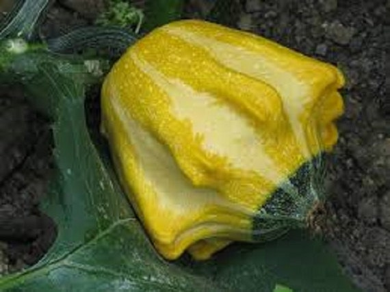 Ten Commandments Gourd 60 Seeds From Fl Ornamental Crown