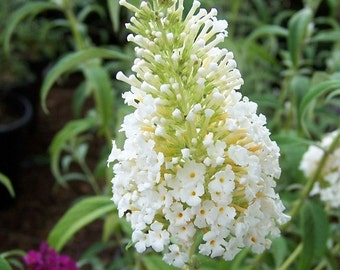 1 - White Profusion - Butterfly Bush