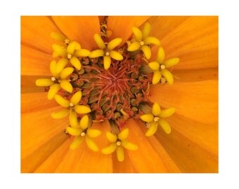 Orange Zinnia No. 5; Orange Giant - Macro Botanical Flower Print - FREE SHIPPING