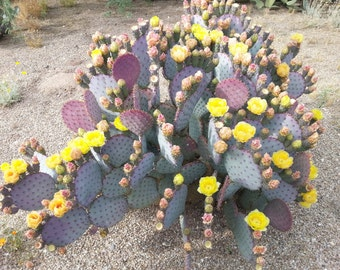 Purple Prickly Pear Pads 3 / Cold Hardy / Opuntia Santa-rita / Santa Rita Prickly Pear Cactus Cuttings Live Cactus Large Cactus Plant Cacti