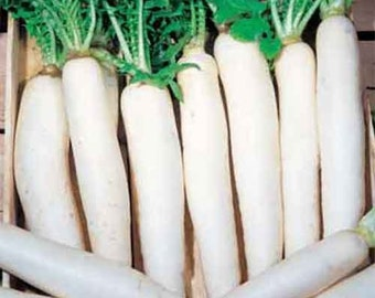 Aprox. 300-350 Daikon radish MINOWASE SUMMER CROSS Nr 3 seeds 3 g fresh heirloom best before 2018