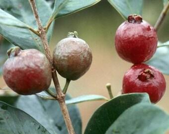 Strawberry Guava Live Plant