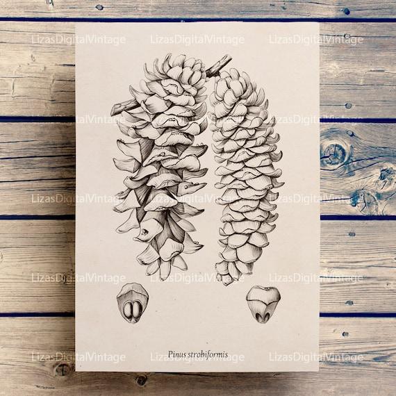 Pine cone print, Vintage prints, Vintage clip art, Conifers, Antique botanical, Pine cone art, Instant download print, PNG JPG 300dpi