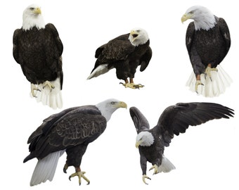 5 real American Eagle, png files, png overlays, Eagle overlays, animal overlays, American eagle cutouts, instant download,Real Eagle, png