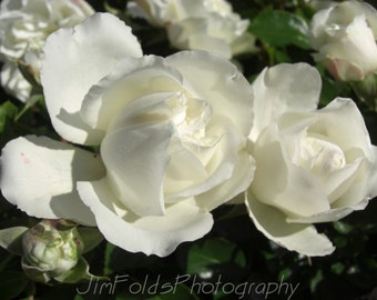 Rose, White Rose, Rose Photograph, Flower Photography