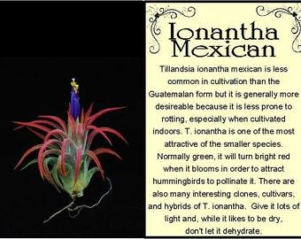Ionantha Mexican Air Plant
