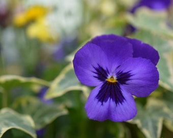 Purple Pansy Photograph #92