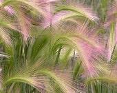 Foxtail Barley Ornamental  Grass Seeds/Hordeum Jubatum/Perennial   40+