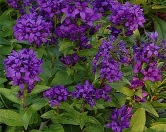 Purple Campanula Bellflower Flower Seeds/Superba/Perennial   50+