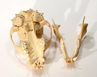 Raccoon Skull   Animal Skull   Bone Skull