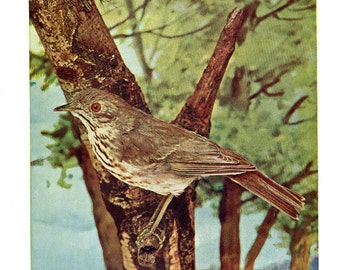 Hermit Thrush Bird Vintage Print