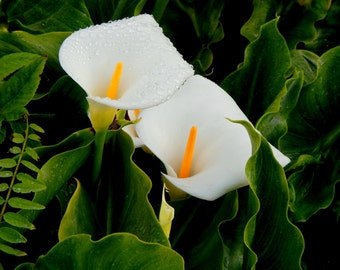 Flowers,Calla Lillies Photography flowers, Fine Art, Home Decor,  Flowers,
