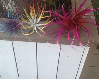 "Three Beautiful Tillandsia Air Plants Ferns Bursting With Color!  3"", 5"", and 7""  Wide"