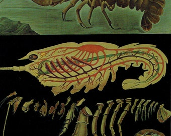 Old School Poster Zoology 1990 Jung-Koch-Quentell Ecrevisse Anatomy