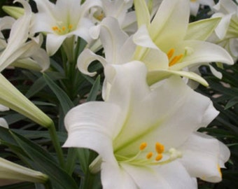 20+ Heirloom Easter lilly seeds