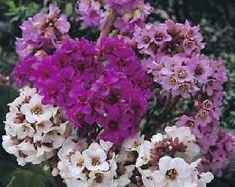30+ Bergenia Cordifolia Mix / Ground Cover / Perennial Flower Seeds
