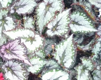 Begonia 'Plum Paisley', live plant, potted
