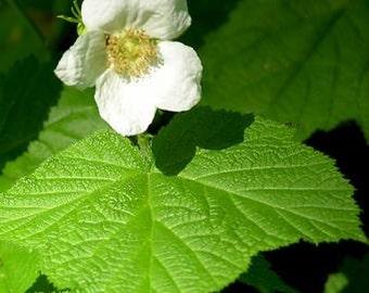 Organic Thimbleberry Leaves