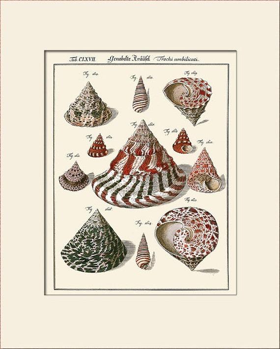 Vintage Sea Shell Print, Plate 167, Art Print with Mat, Natural History Illustration, Wall Art, Nautical Art, Costal Decor