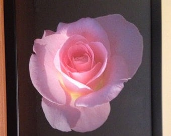 The Curvaceous Pink Rose