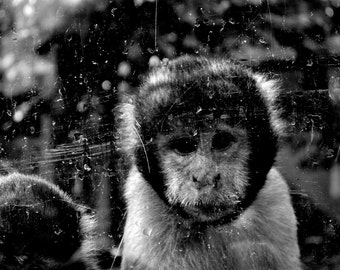 Black and white photo portrait monkey, photograph, the head of gold Lyon Park,.