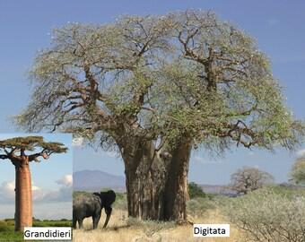 Baobab / Adansonia digitata / 5 Seeds