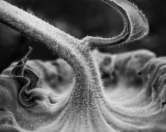 Fuzzy Sunflower Stem Detail -- black and white photograph