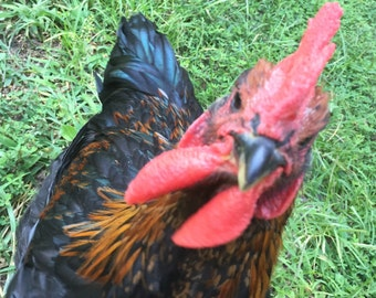 Hello! Curious Rooster Instant Download