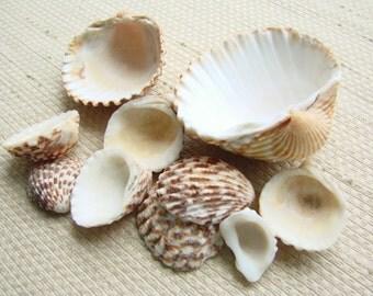 10 Ridged and Leopard Spots Scallop Shells (SH105) Mediterranean sea shells, Assorted  sizes, Ridges