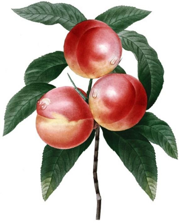 nectarines fruit png clip art Digital image download food gardening art printables vintage clipart