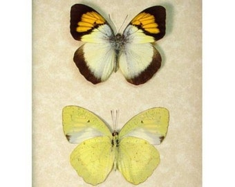 Real Framed Ixias Pyrene Verna Set Yellow Orange Tip Butterfly 7821