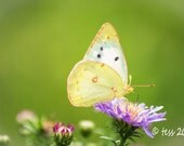 Butterfly Photo Print - Clouded Sulpher Butterfly Photo - Butterfly Greeting Card
