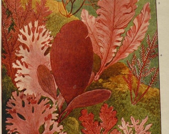 Red Seaweed - Underwater Garden - color prints - Ocean decor - beach theme framable 1900 print can be matted for 8 by 10 frame