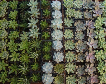 "ItsBees 12 Month Succulent of the Month Club Annual Membership - Live 3"" Succulents - Wedding, Shower, Gift, Home, Garden - FREE SHIPPING"