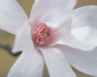 Magnolia Photography No. 8  -- Limited editions in various sizes by Hazel Berger