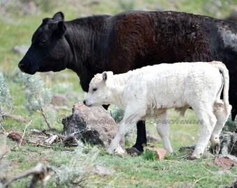 Black Cow White Calf Fine Art Photo - Baby Cow Photos - Black and White Cow Art - Farm House Art