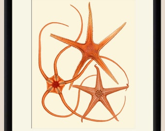 Starfish 1 Art Print - Nautical Illustration Wall hanging - Beach Decor Poster Vintage Illustration