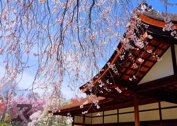 Sakura Showers Shofuso (Photography Print)