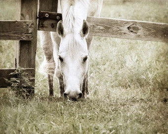 White Horse Photo, Photo of Horse, Horse Grazing, Horse in Pasture, Grazing Horse, Horse Photograph
