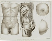 1840 Antique print of anatomy, abdominal region, breasts, penis, testicles,  original antique 176 years old