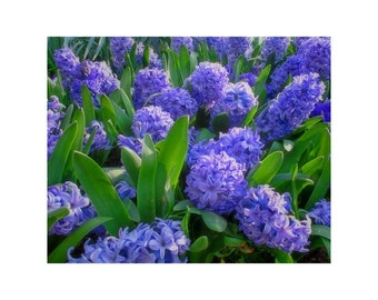 Fine Art Color Nature Photography of Purple Hyacinths