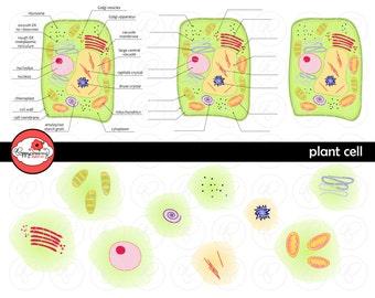 Plant Cell Science Diagram Clipart Set (300 dpi) School Teacher Clip Art Science Physical Science Diagram