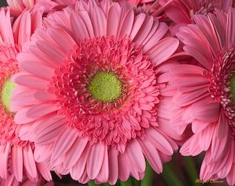 Flower Photograph, Pink Gerber Daisy