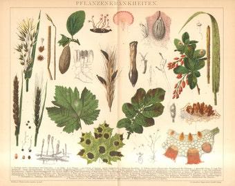 1895 Plant Diseases, Phytopathology or Plant Pathology Original Antique Chromolithograph