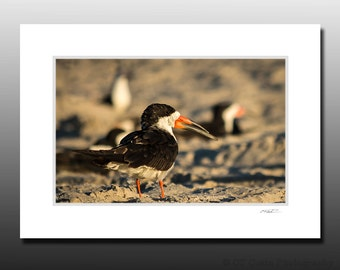 Black Skimmer Bird Photography, Shorebird Matted Print, Small Wall Art and Gifts, Cape May Birds, Ready for Framing, Fits 5x7 inch Frame
