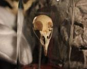 Quail Skull Curio Display