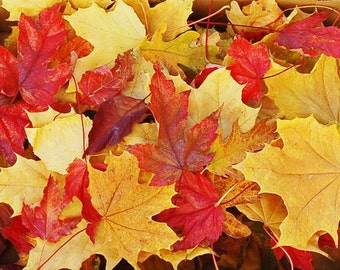 Real  Autumn Fall Leaves Over 100 Preserved Maple, Cottonwood, Oak  Wedding Halloween or Thanksgiving Decorating Scatter