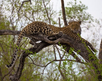 "Africa Photography, ""Leopard in a Tree"", Travel Photography, South Africa, Customizable Print Sizes, Animal Photography"