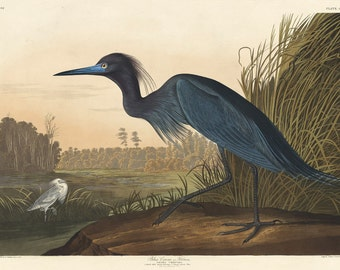 John James Audubon Reproductions - Blue Crane or Heron, 1836. Fine Art Print.