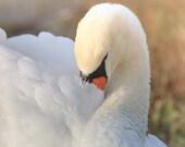 Photograph of Mute Swan/Swan Photography/Swan Photo/Swan Art/Florida Wildlife Photography/FREE SHIPPING
